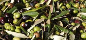 珠玉のオリーブオイルが生まれるマルケ